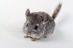 Gray small chinchilla Royalty Free Stock Photo