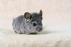 Gray small chinchilla Royalty Free Stock Image