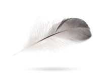 Gray small feather Stock Photo