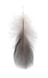 Gray small feather Royalty Free Stock Photo