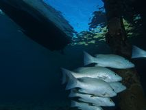 Gray snapper under jetty Stock Image