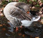 Gray Snow Goose en plumas fluffing del lago Fotos de archivo libres de regalías
