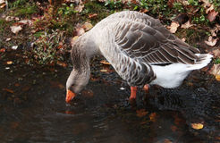 Gray Snow Goose in meer drinkwater Royalty-vrije Stock Foto's