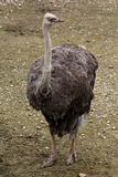 Gray Ostrich. Gray southern ostrich , struthio camelus ,  in zoo Stock Images