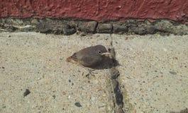Gray sparrow. Gentle gray sparrow at home in the garden stock photo