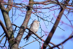 A gray sparrow sits on a thin branch of a tree. royalty free stock photos
