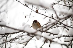 Gray Sparrow on a snow-covered branch in winter. search for food in winter. just a little weak birds, protection of animals royalty free stock photo