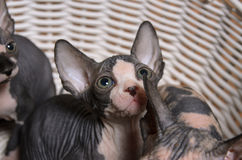 Gray Sphynx Kittens Inside ein Korb, der oben schaut stockfotografie