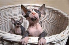 Gray Sphynx Kittens Inside en korg som ser upp Royaltyfri Fotografi
