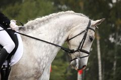 Gray sport horse portrait ar show arena Stock Image