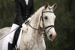 Gray sport horse portrait ar show arena Royalty Free Stock Photo