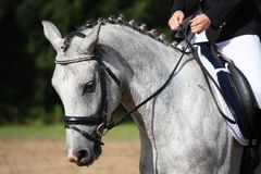 Gray sport horse portrait Stock Photo