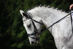 Gray sport horse portrait Stock Photography