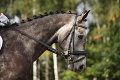 Gray sport horse portrait Stock Photos