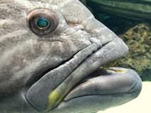 Gray spotted grouper fish in an aquarium Stock Photo