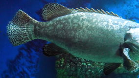 Gray Spotted Grouper stock video footage