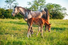 Gray spotted horse with broun foal. Standing in high grass in sunset light, green background royalty free stock image