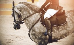 Gray spotted horse participating in the route in jumping competitions stock images