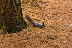 Gray squirell. Autumn gray squirell on fade grass Royalty Free Stock Photo