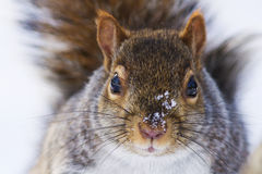Gray squirrel close up Royalty Free Stock Images
