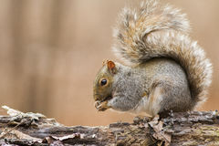 Gray squirre feeding Royalty Free Stock Photo