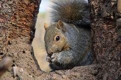Gray Squirrel. Feeding On Seeds In Tree Stock Photos