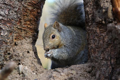 Gray Squirrel. Feeding On Seeds In Tree Royalty Free Stock Photo