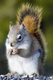Gray squirrel Stock Images