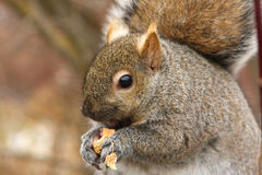 Gray Squirrel. Feeding On Peanut Close-up Royalty Free Stock Photo