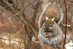 Gray Squirrel. Feeding On Peanut In Winter Royalty Free Stock Photo