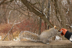 Gray Squirrel. Taking Peanut From Hand In Winter Stock Photo