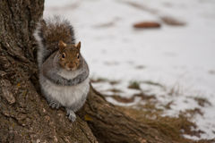 Gray squirrel. In the forest Royalty Free Stock Photography