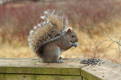 Gray Squirrel. Eating Seeds On Boardwalk Rail Royalty Free Stock Image