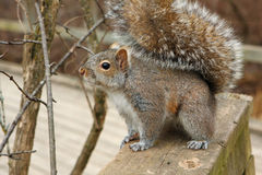 Gray Squirrel. Standing On Boardwalk Rail Royalty Free Stock Photos