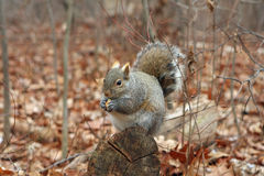 Gray Squirrel. On Log Eating Peanut In Morning Stock Photography