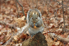 Gray Squirrel. On Stump With Peanut In Hands Royalty Free Stock Photo