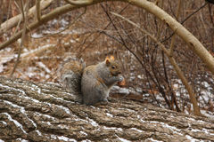 Gray Squirrel. On Log Holding Peanut In Morning Royalty Free Stock Photo