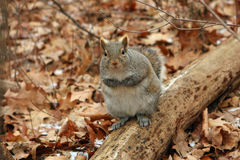 Gray Squirrel. On Log With Feet Held Up Royalty Free Stock Photos