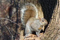 Gray Squirrel. In Tree In Afternoon Sun Stock Photo