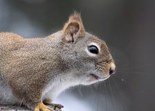Gray squirrel. Face of gray squirrel in nature Royalty Free Stock Photography