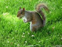 Gray Squirrel. Biting a nut on grass background Royalty Free Stock Image