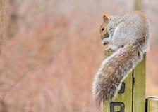 Gray Squirrel stock image