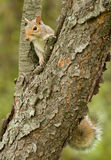 Gray Squirrel Stock Photos