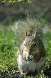 Gray squirrel. Eating sunflower seed Stock Images
