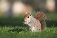 Gray Squirrel Royalty Free Stock Photos