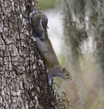 Gray Squirrel Arkivfoton