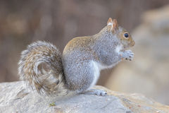 Gray Squirrel. A Gray Squirrel eating nuts on a rock Royalty Free Stock Images