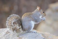 Gray Squirrel Royaltyfria Bilder