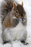 Gray Squirrel. A gray squirrel eats a sunflower seed in the snow Royalty Free Stock Images