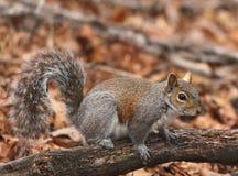 Gray Squirrel Lizenzfreie Stockbilder